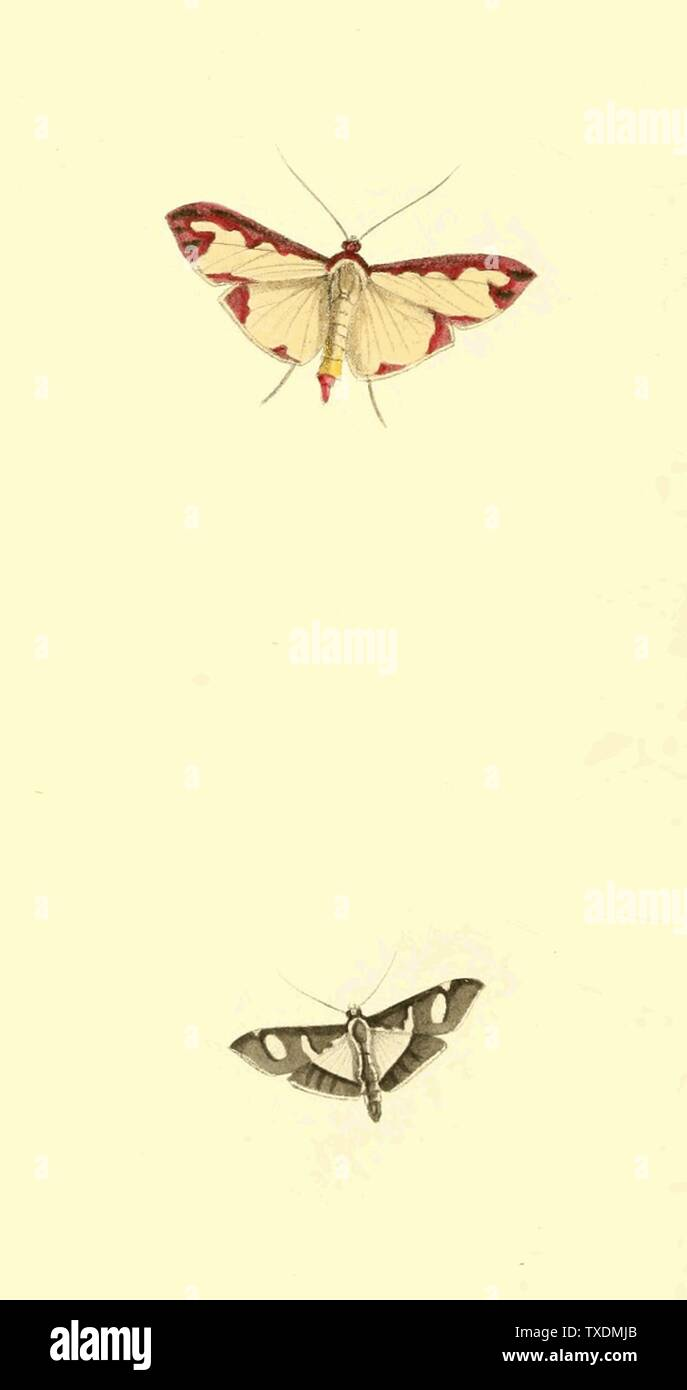 'English: Plate 77. Botis marginata. Pink-margined Gauze-wing—upper figure. Unable to determine current accepted name.—Uploader.   Botis bicolor. Black and White Gauze-wing—lower figure. Modern accepted name is Glyphodes bicolor.; February 1821; Zoological Illustrations, Volume II.; William Swainson, F.R.S., F.L.S.; ' - Stock Image