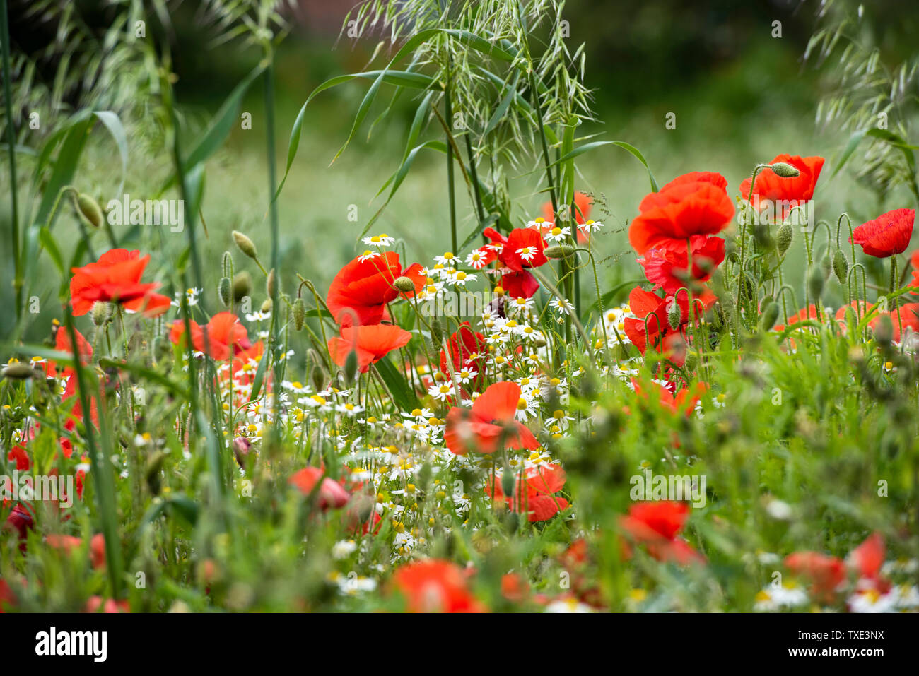 A field of Poppies and Daisies in Bingham, Nottinghamshire England UK Stock Photo