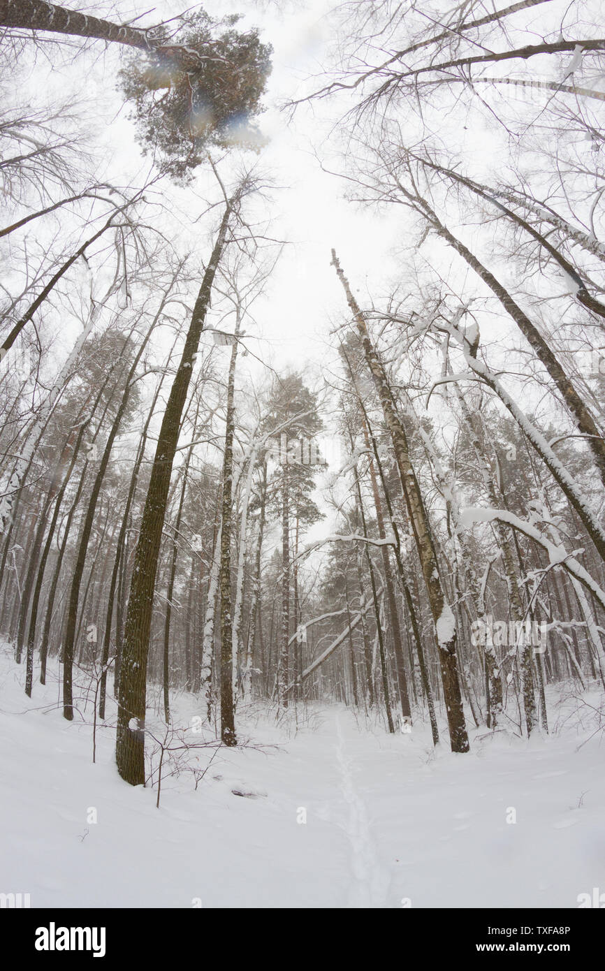 pine tree forest. winter. foggy weather - Stock Image