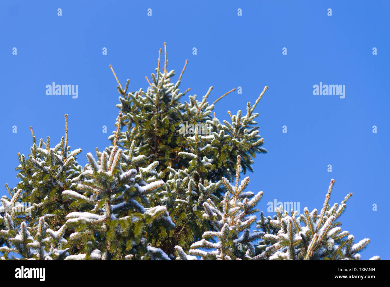 Winter background, close up of frosted pine branch covered with snow - Stock Image