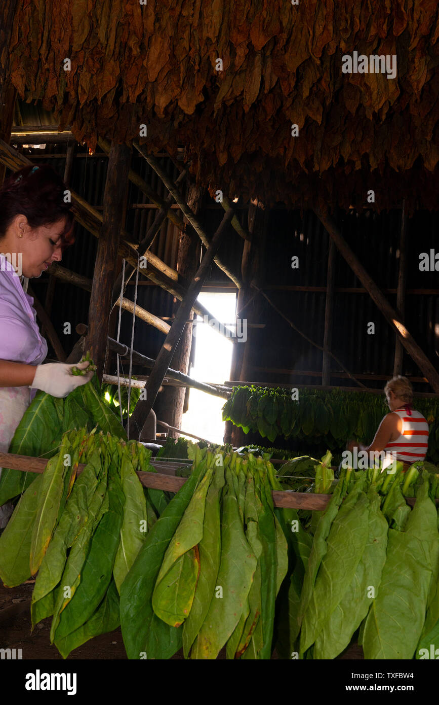 Drying shed full of tobacco leaves being sorted and dried in the rural village of San Juan y Martinez, Pinar del Rio Province, Cuba - Stock Image