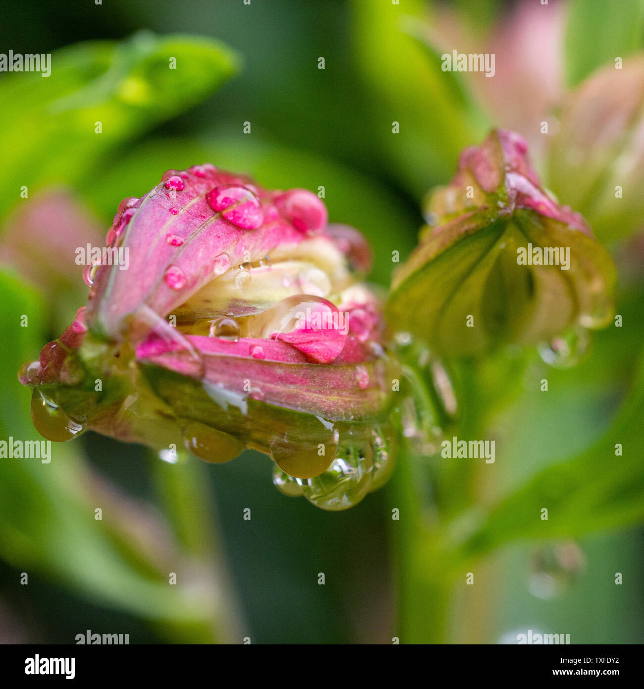 Alstroemeria peruvian lily flower buds with water droplets after rain Stock Photo