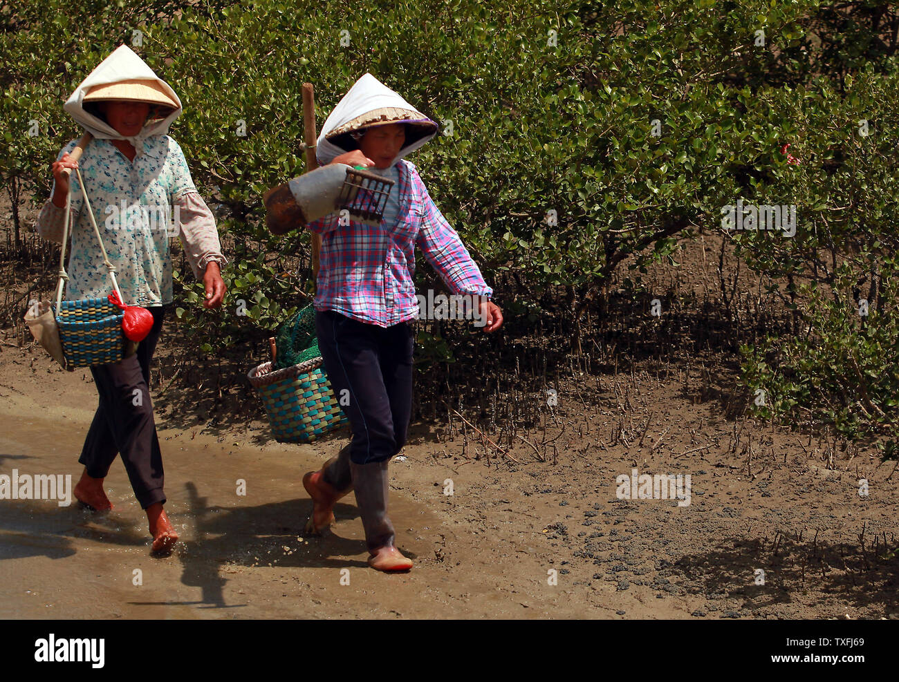 Chinese-Vietnamese women walk through a mangrove estuary on their way to look for sand worms in Beihai, a coastal city in southern Guangxi Province, China on August 29, 2014.  The sand worms are an expensive local delicacy, whose harvesting helps support a large traditional fishing population.       UPI/Stephen Shaver Stock Photo