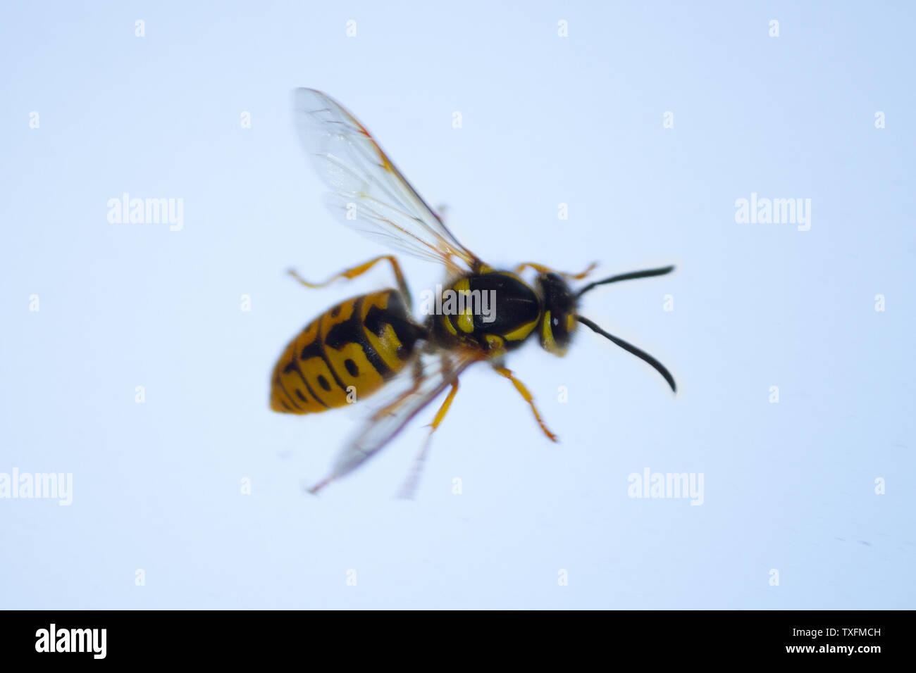 honey bee on the window. close up - Stock Image