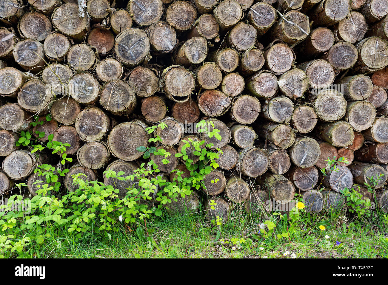 Softwood log stack. - Stock Image