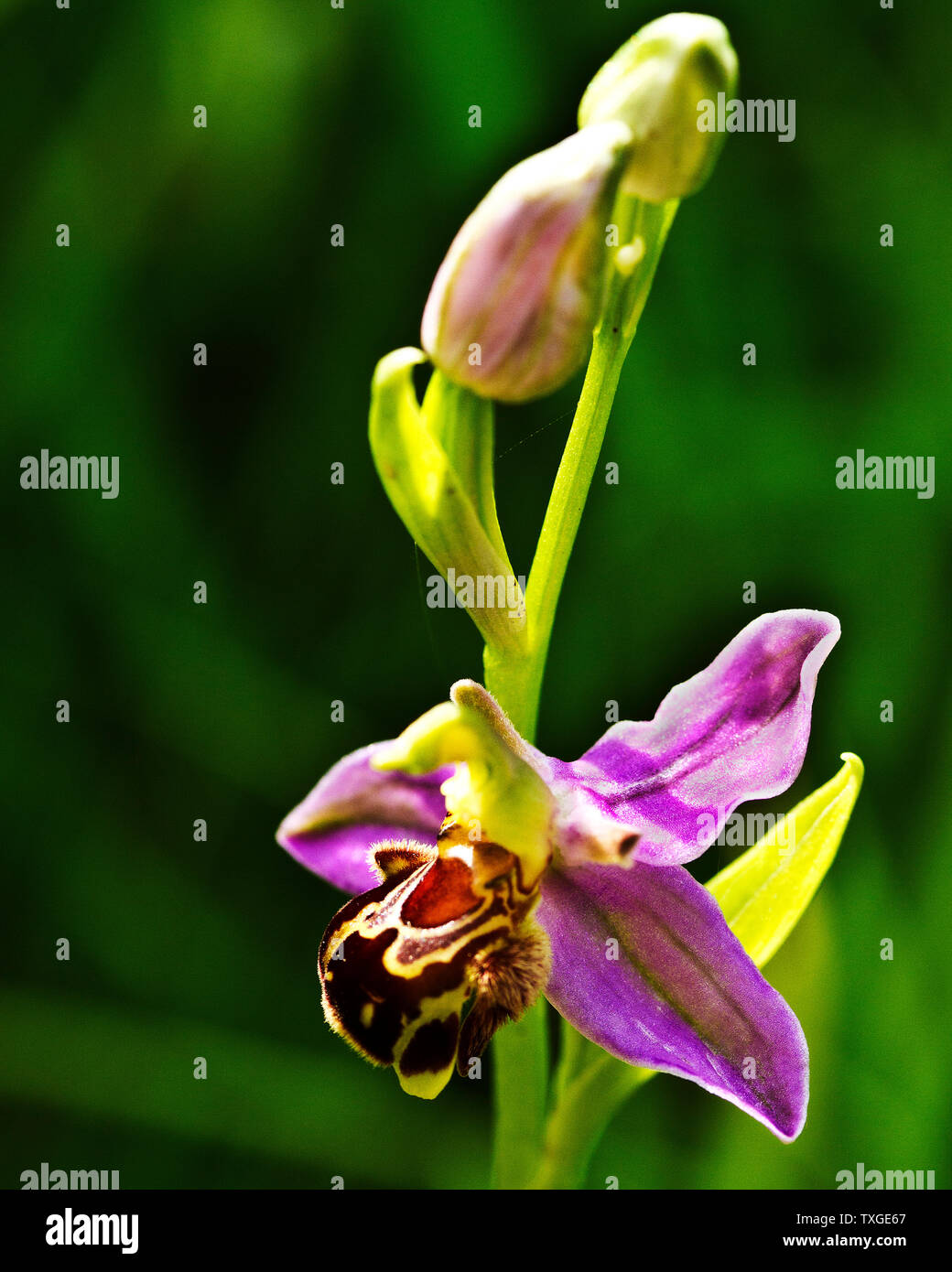 The flower of the Bee Orchid is an example of the Orchid family specialization of mimicry of their infloresence to attract their pollinating insects b - Stock Image
