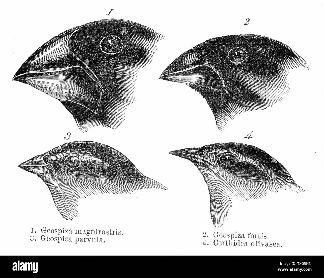 Darwin's Finches. Four or the species of finch observed by Darwin on the Galapagos Islands, showing variation of beak.The study of the flora of the Islands contributed to Darwin's theory of evolution - Stock Image