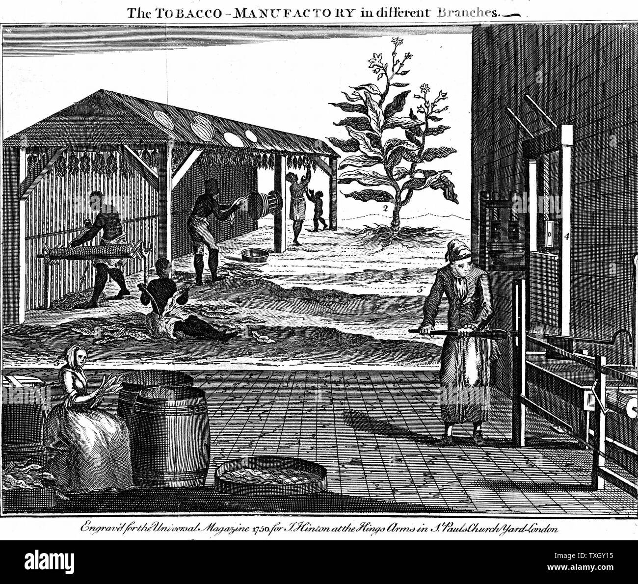 Various stages in the production of tobacco, Virginia.  Male, female and child slaves rolling dried tobacco into ropes, background.  Foreground, sorting leaves and pressing tobacco. Tobacco plant (nicotiana tabacum) at 2 1750 Copperplate engraving London - Stock Image