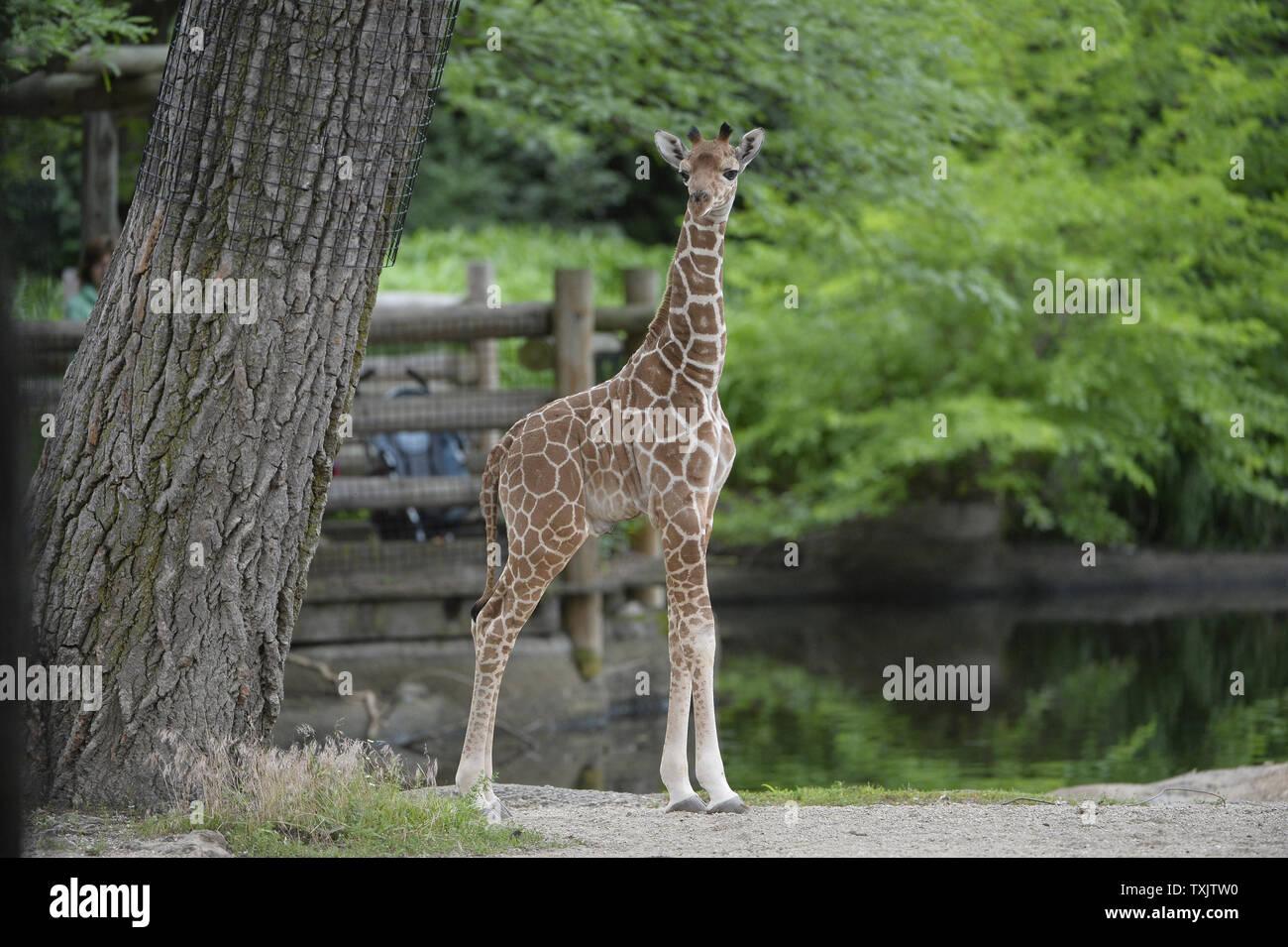 An 11 Day Old Giraffe Calf Explores His Habitat At The Brookfield