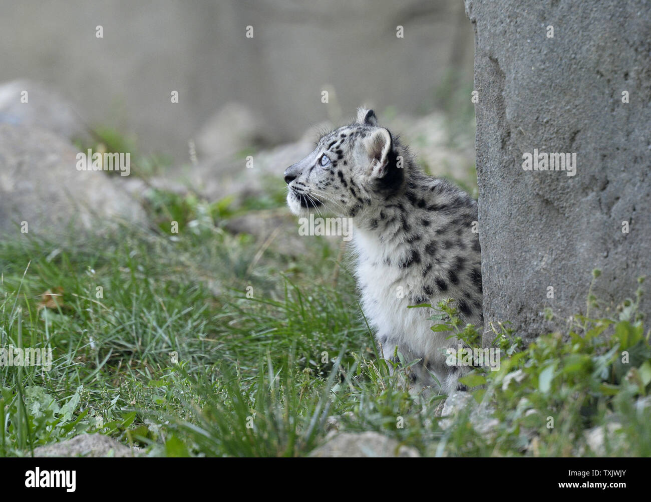 A three month old snow leopard cub makes his public debut at