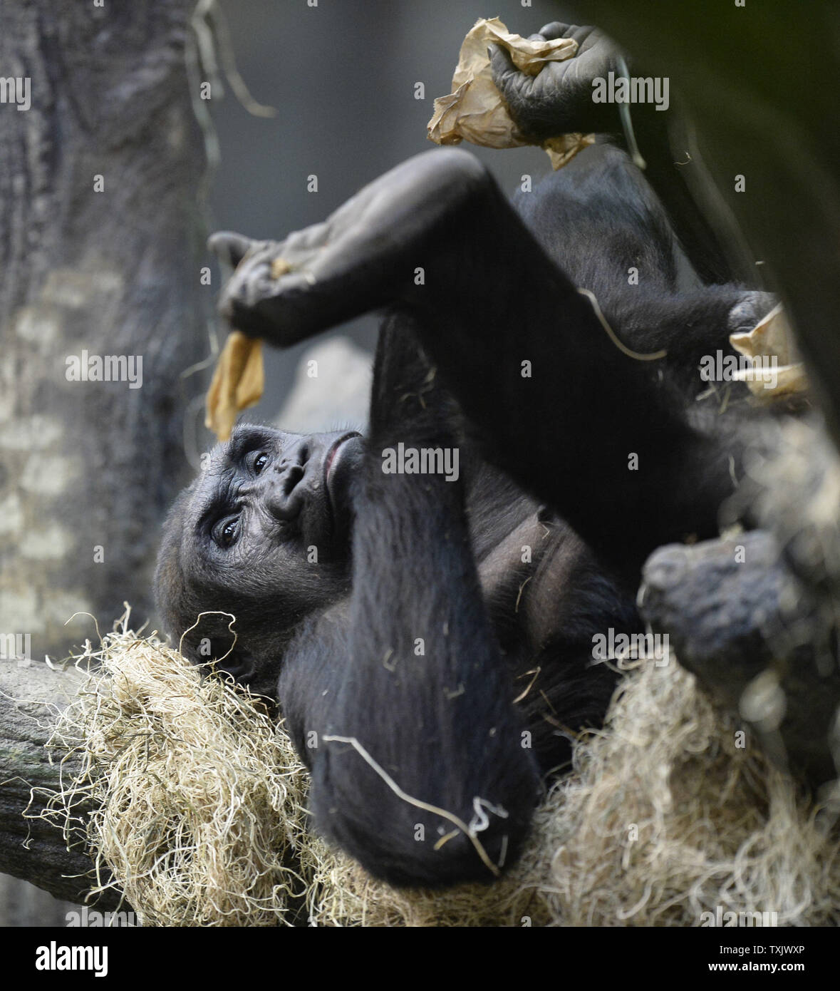 Binti Jua, an 25-year-old western lowland gorilla and grandmother of a newborn female, relaxes in her habitat at the Brookfield Zoo's Tropic World exhibit in Brookfield, Illinois on November 6, 2013. The infant was born on November 4 to 18-year-old Koola at the Chicago area zoo. In 1996, a three-year old boy fell into the gorilla habitat at the zoo and Binti Jua protected him from the other animals and carried him safely to an access door where paramedics were standing by.     UPI/Brian Kersey Stock Photo