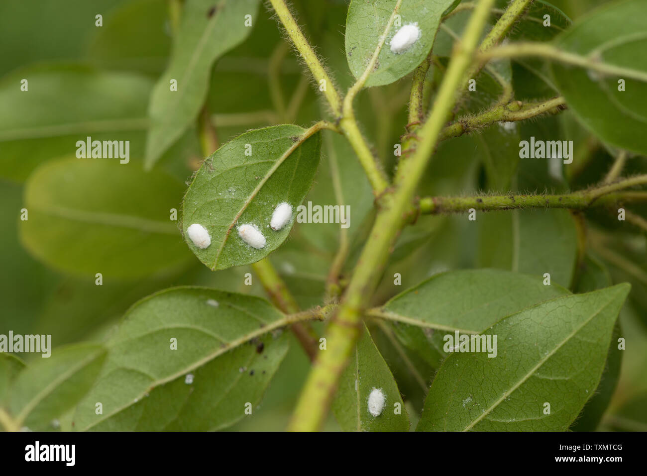 Woolly aphid , scale insect, Eriosoma spp on underside of Viburnum tinus leaves, start of infestation Stock Photo