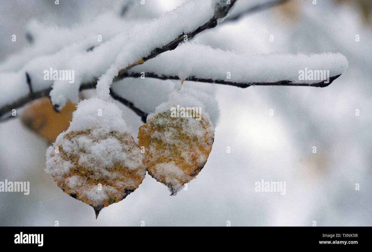 An overnight light snowstorm that dropped up to four inches of snow dots fallen leaves with water and snow in Lakewood, Colorado on October 25, 2012.    UPI/Gary C. Caskey - Stock Image