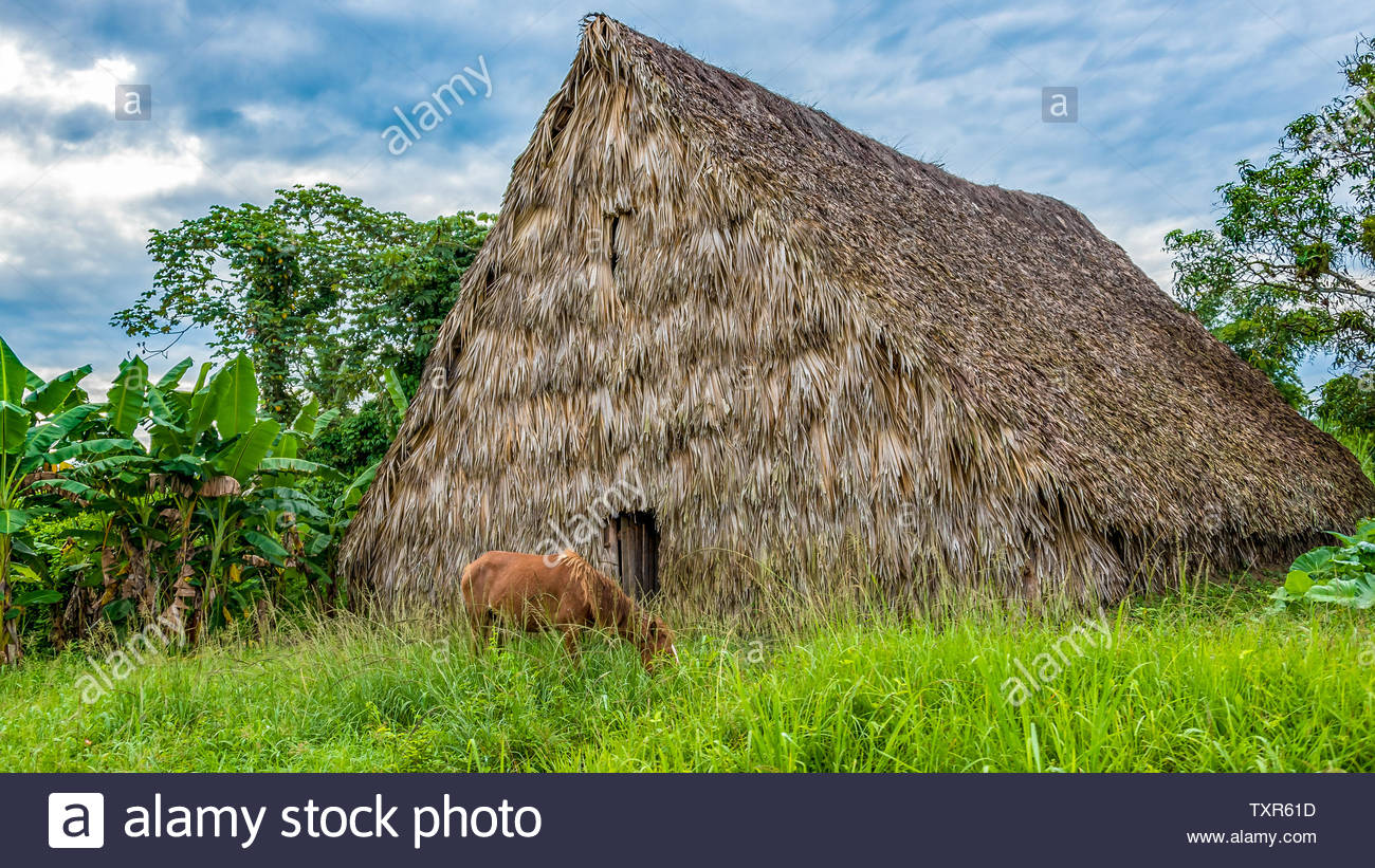 Pinar del Rio, Cuba,  NEW,  thatched houses for drying tobacco leaves in the Vinales Valley which is a Unesco World Heritage and a tourist attraction - Stock Image
