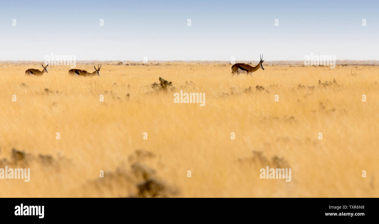 Animals arriving at water hole in Namibia desert - Stock Image