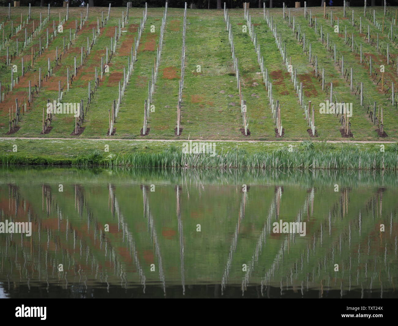 April 2019 - Serene Reflection Of A Vineyard In Water At A Landscape Garden In UK - Stock Image