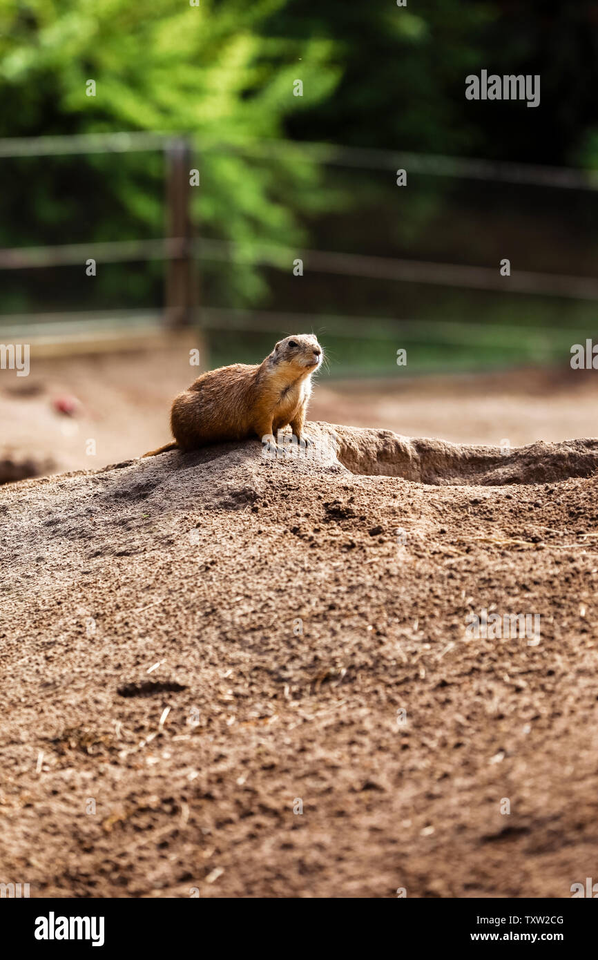 Two Marmota. Cute wild Gopher standing in green grass. Observing young ground squirrel stands guard in wild nature. Curious european suslik posing to Stock Photo