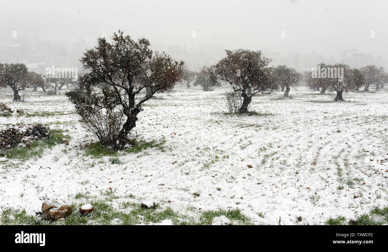 A rare winter snow storm fall on olive trees on the Mount of Olives in  Jerusalem, March 2, 2012. Residents of Jerusalem woke to 1.575 inches of snow in the first snow fall in Jerusalem in more than two years.  UPI/Debbie Hill - Stock Image