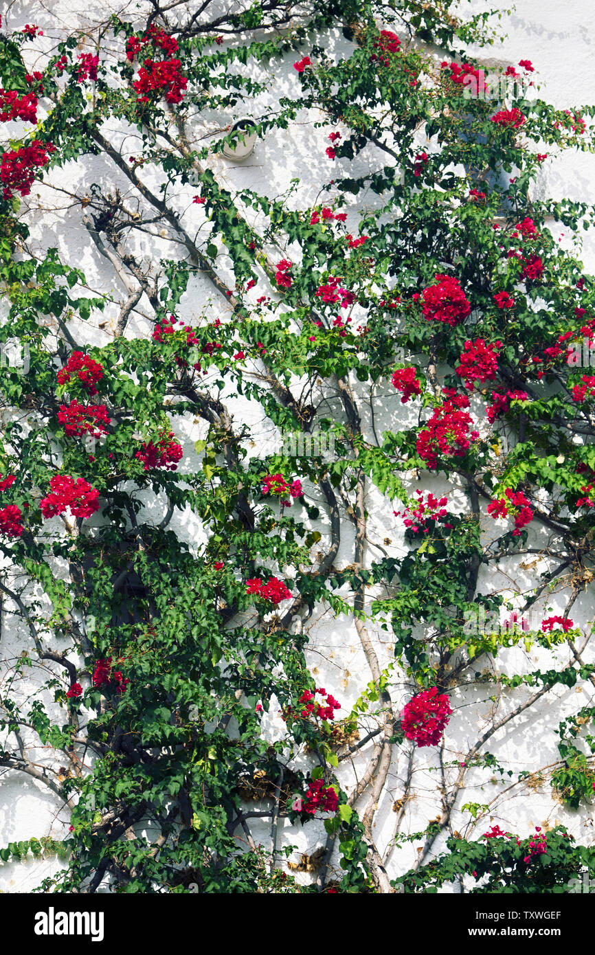 Old vine (climbing shrub) curls on the wall of the house. Purple bracts and small white bougainvillia flower. Bougainvilia(Bougainvillea sp.) blooming - Stock Image