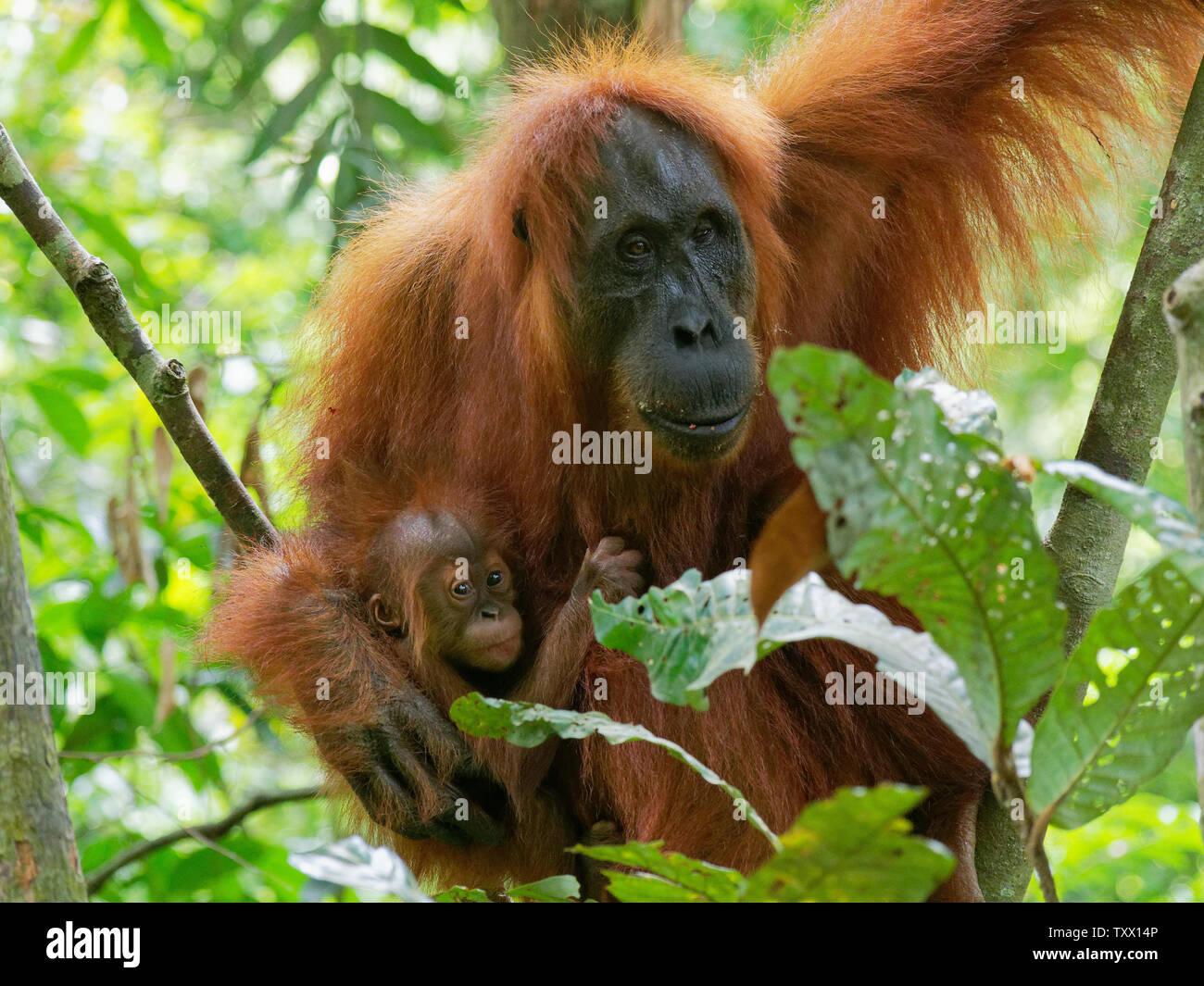 orangutan mother with littile child Stock Photo