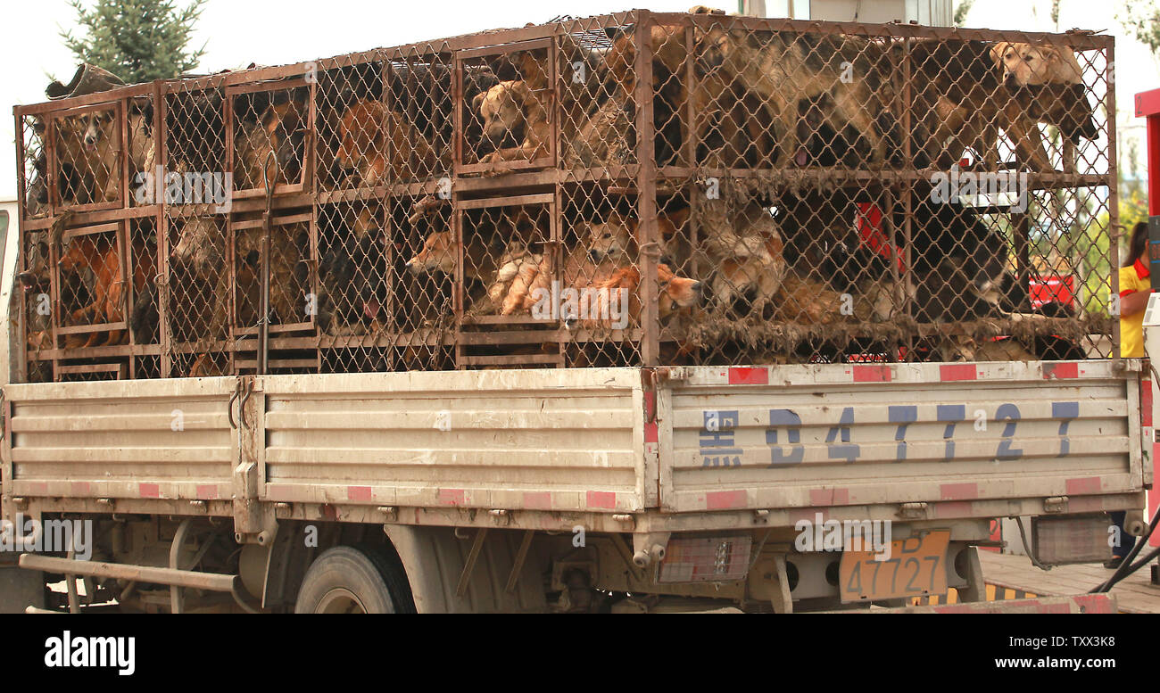 A truck packed with crates of dogs enroute to a slaughter house stops to refuel at a gas station in Fujin, a frontier town in China's northern Heilongjiang Province on July 31, 2013.  Animal welfare organizations from across China have agreed to work together against what they term the 'criminal and cruel' dog and cat meat industry.  At least 10 million dogs are believed to be killed for waiting diners in China annually. Dog meat production has evolved from small-scale household businesses to a multi-million dollar industry of illicit dog traders.       UPI/Stephen Shaver - Stock Image