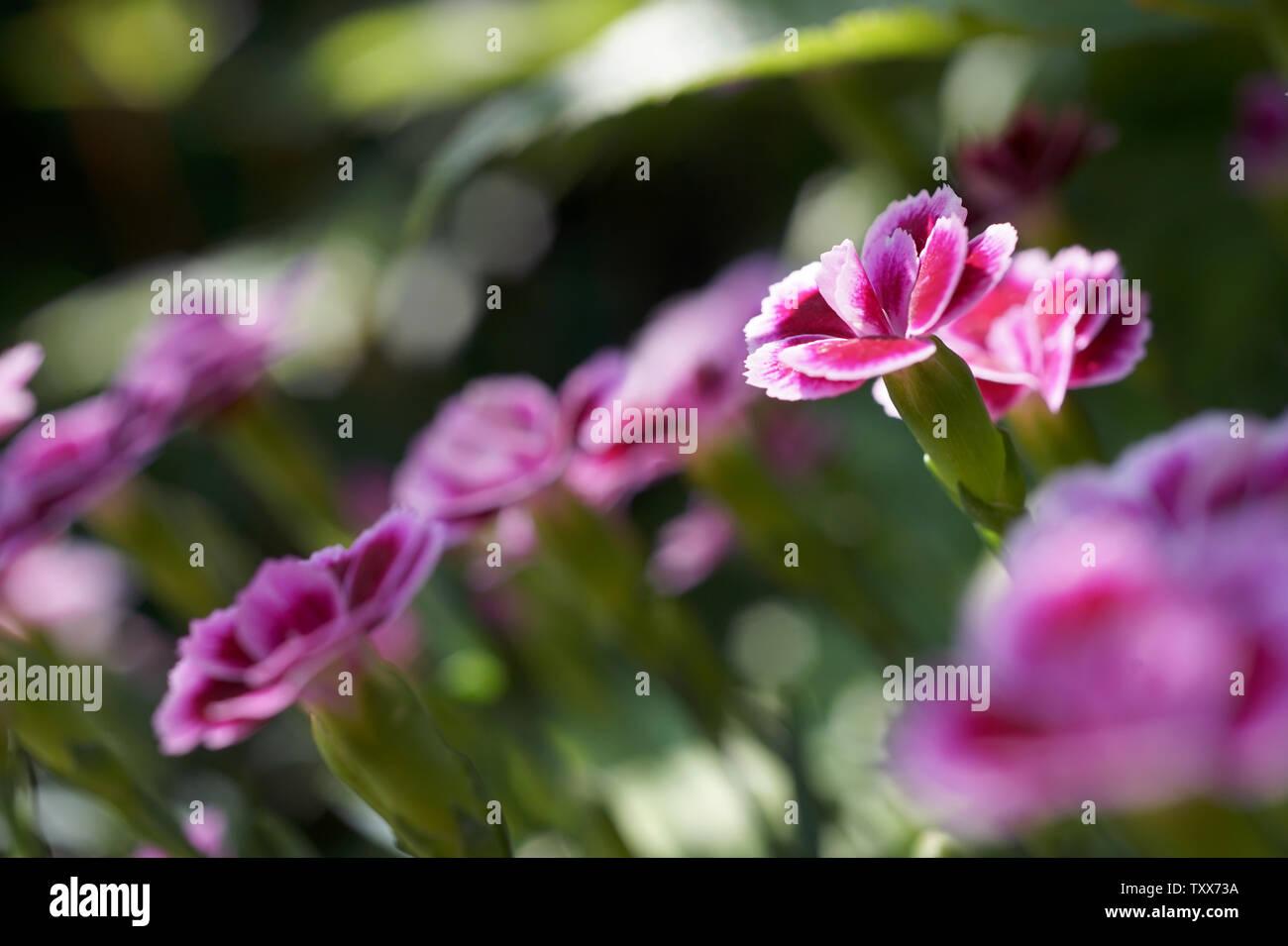 Dianthus barbatus, Sweet William - Stock Image