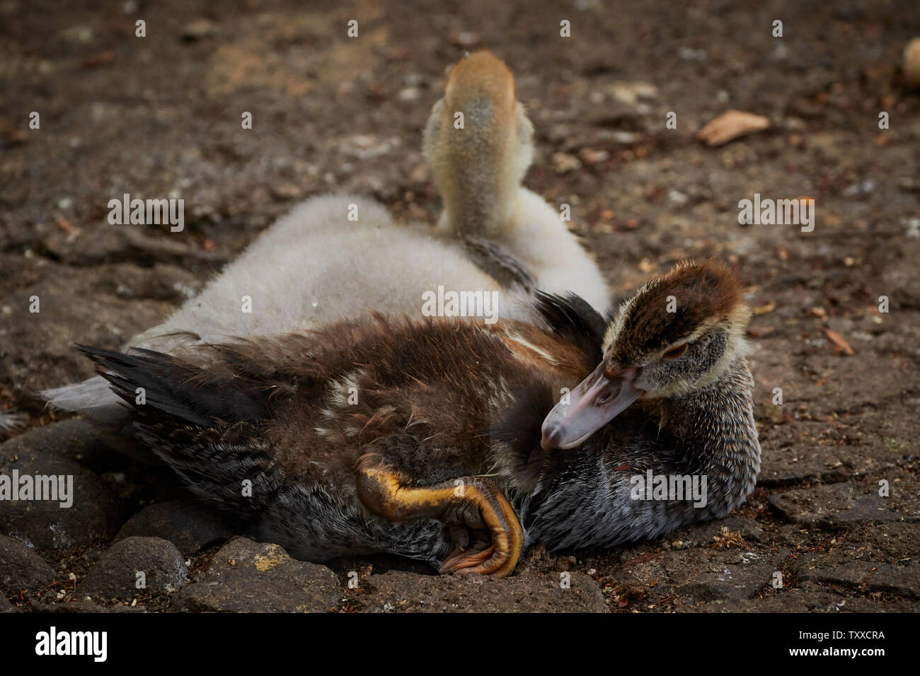 Wildfowl in the Municiple garden Funchal, Madeira, Portugal, European Union - Stock Image