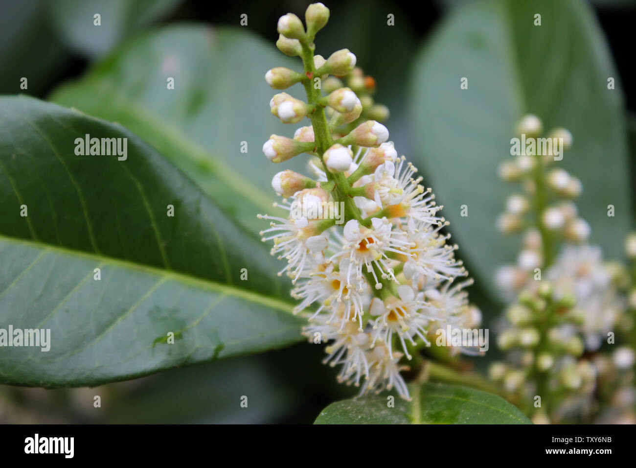 Close-up view of white blooming Prunus laurocerasus shrub, also known as cherry laurel, common laurel and English laurel - Stock Image