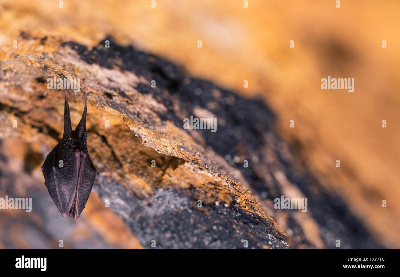 Close up small sleeping horseshoe bat covered by wings, hanging upside down on top of cold natural rock cave while hibernating. Creative wildlife Stock Photo