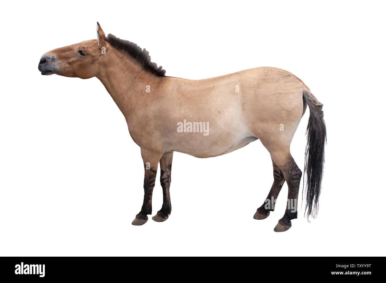 Horse close up isolated on white background. - Stock Image