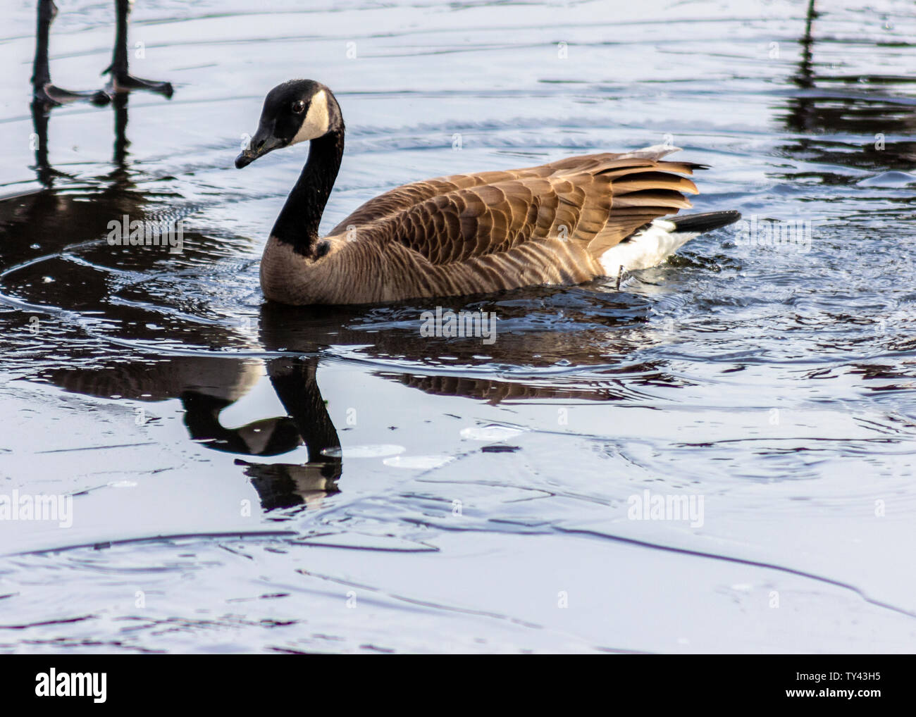 Beautiful Canada Goose breaking ice on frozen lake to swim. Stunning winter scene. Awesome water reflection. Broken ice on top of frozen water. Stock Photo