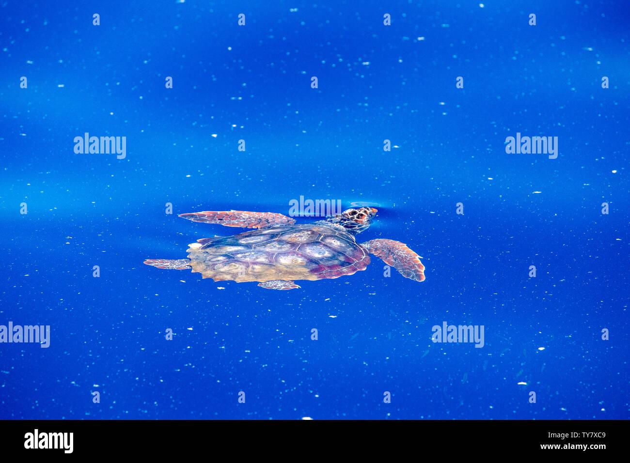 sea turtle in micro plastic blue sea - Stock Image