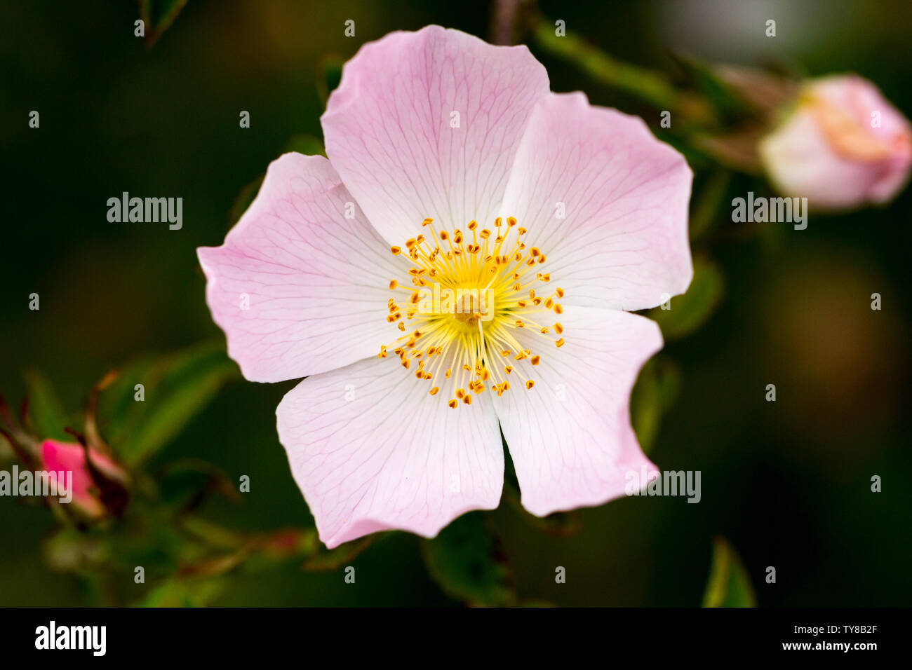 "Rosa canina, ""Dog rose"" flower closeup. Wildflower. Dorset, United Kingdom Stock Photo"
