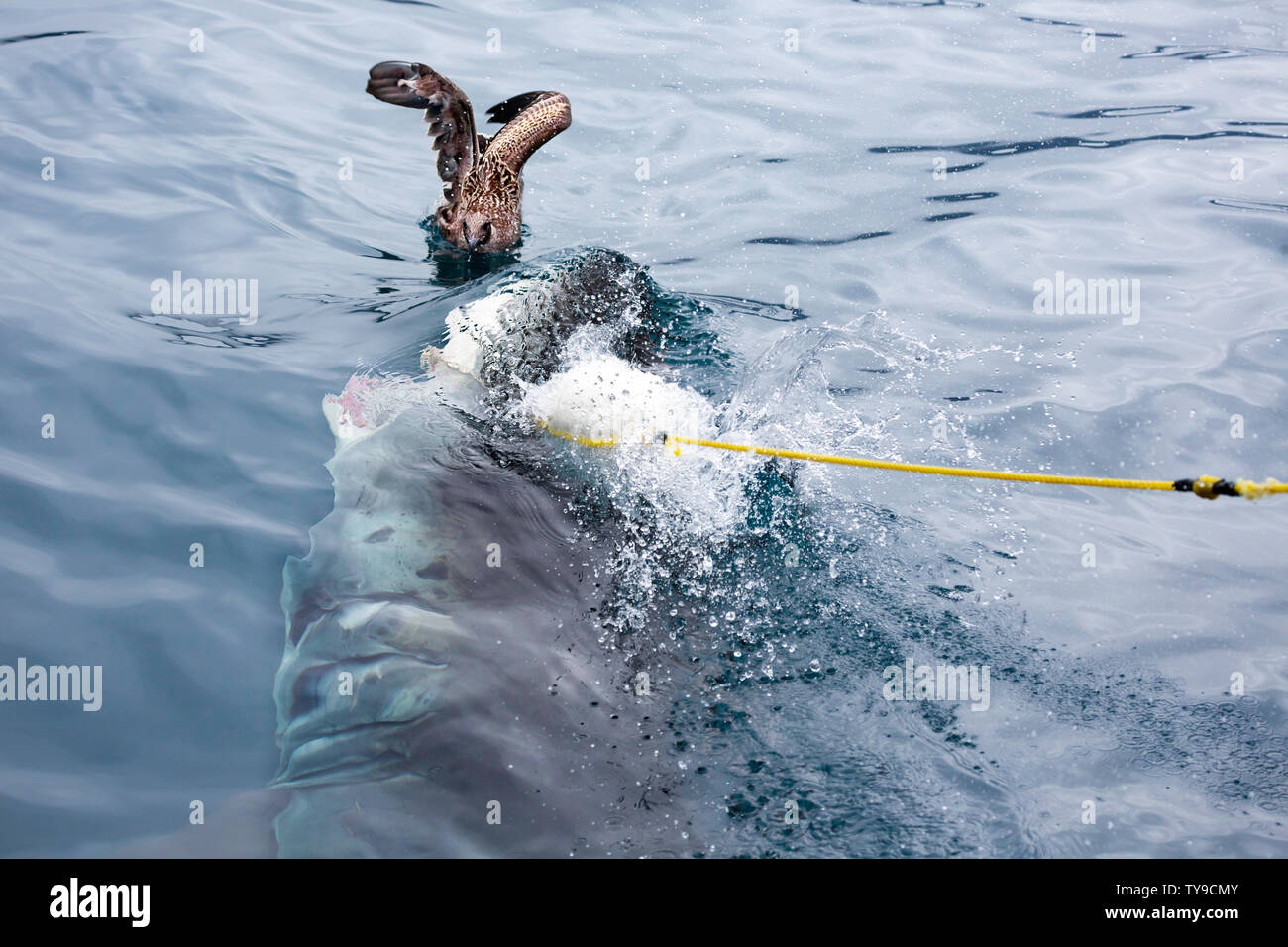 The seagull came very close to being a side dish, when this great white shark, Carcharodon carcharias, took a floating bait during a feeding off Guada - Stock Image