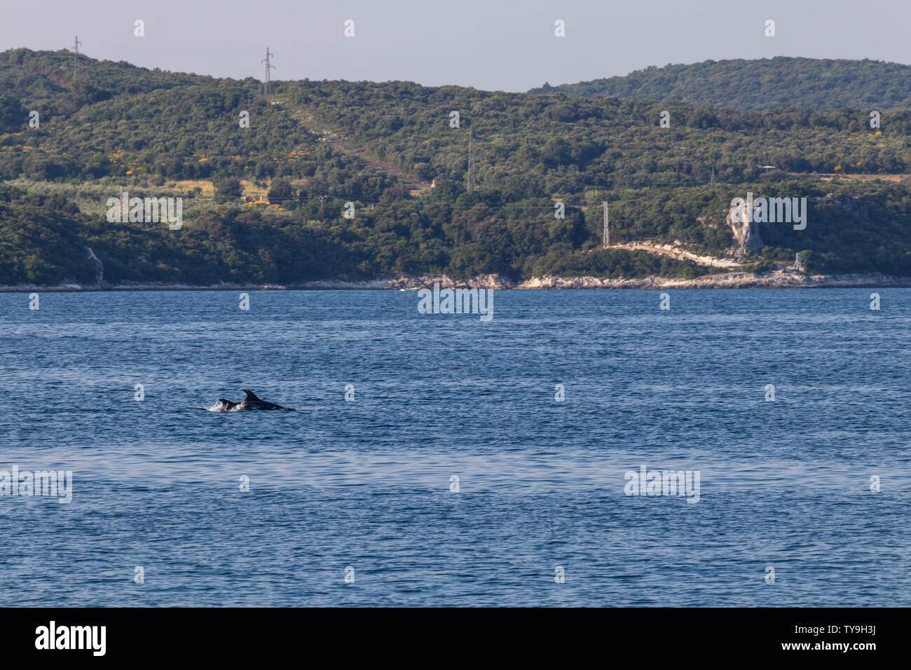 Group of dolphins swimming north of Rovinj in Croatia Stock Photo