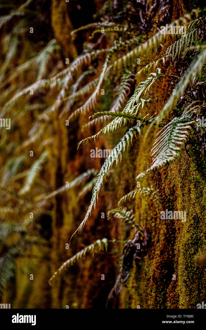 New Zealand, South Island. Westland Tai Poutini National Park which contains many elements of temperate rainforest. such as ferns growing in the warm Stock Photo