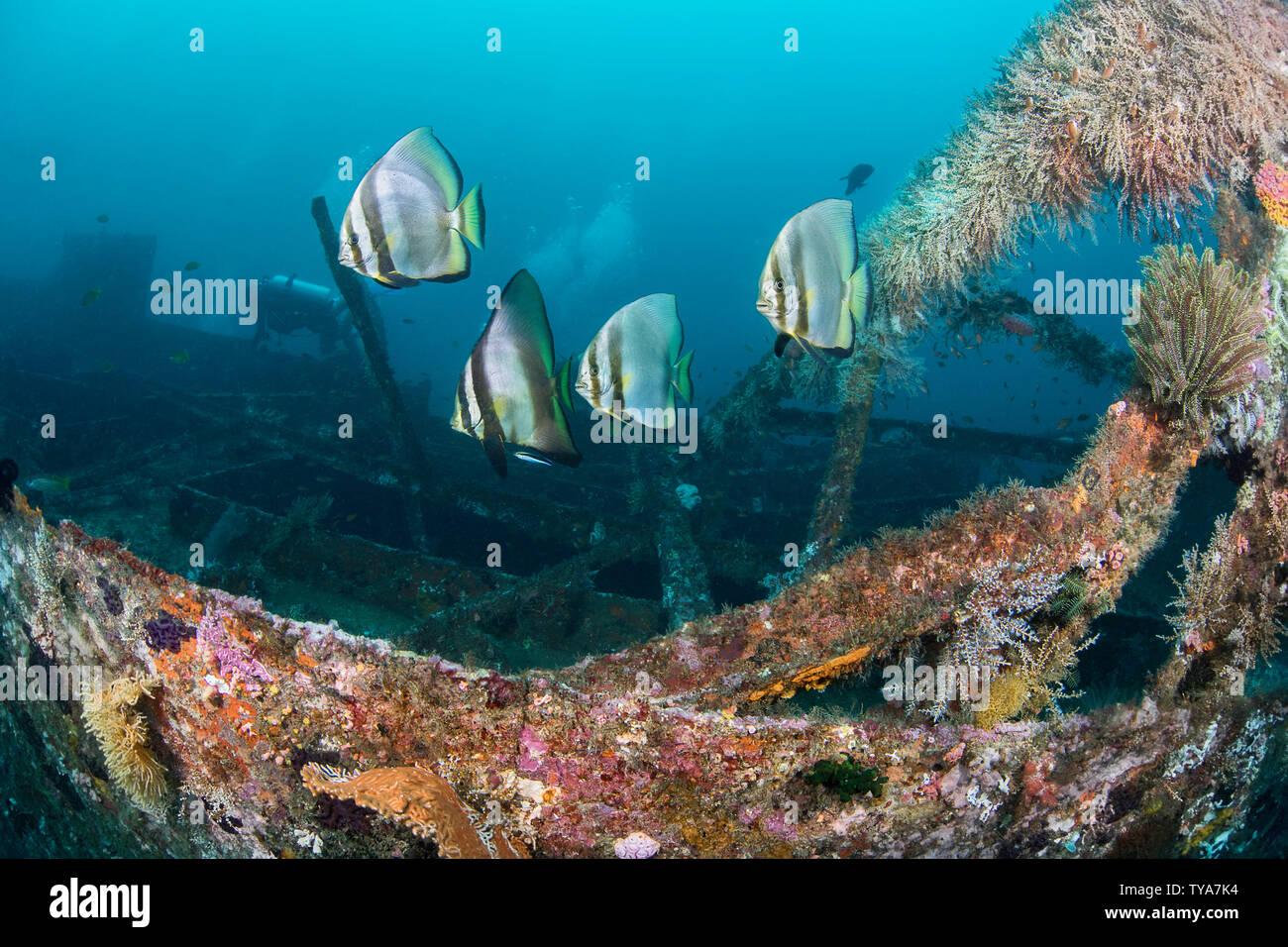 Dusky Batfish, Platax pinnatus, at a cleaning station on the wreck of the Alma Jane off Sabang Beach, Puerto Galera, Mindoro, Philippines. Stock Photo