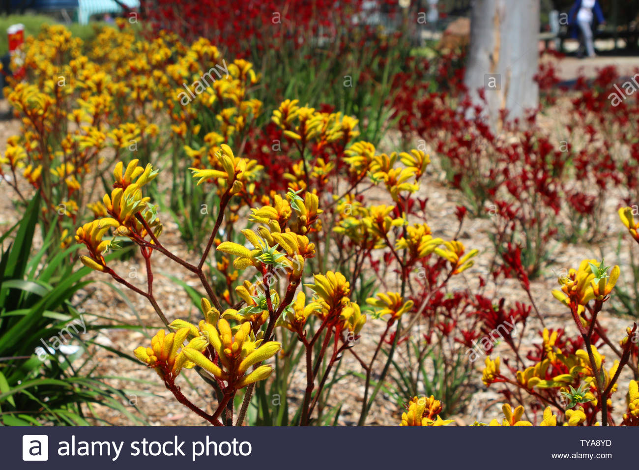 0a98f6d25 Flowerbed with yellow and red kangaroo paw flower (Anigozanthos  pulcherrimus and flavidus) endemic to