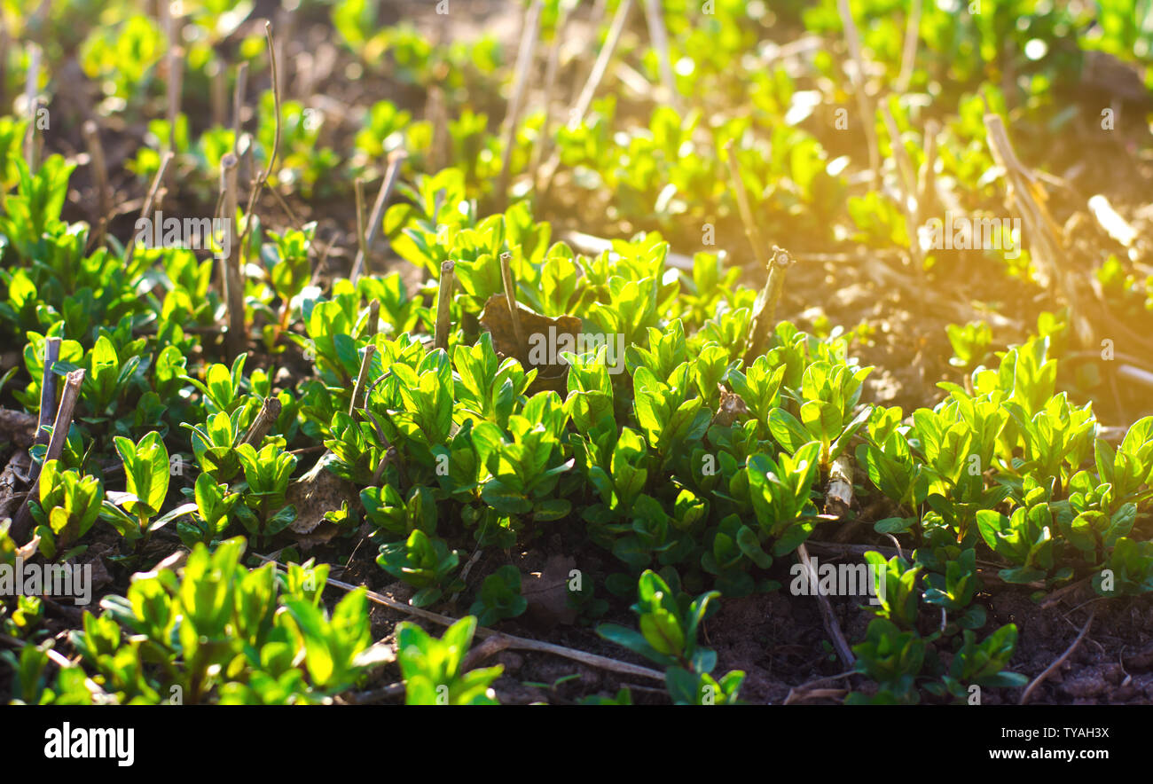 Fresh Leaves Of Green Young Mint Grow In The Garden Natural Wallpaper Aromatherapy Selective Focus Stock Photo Alamy