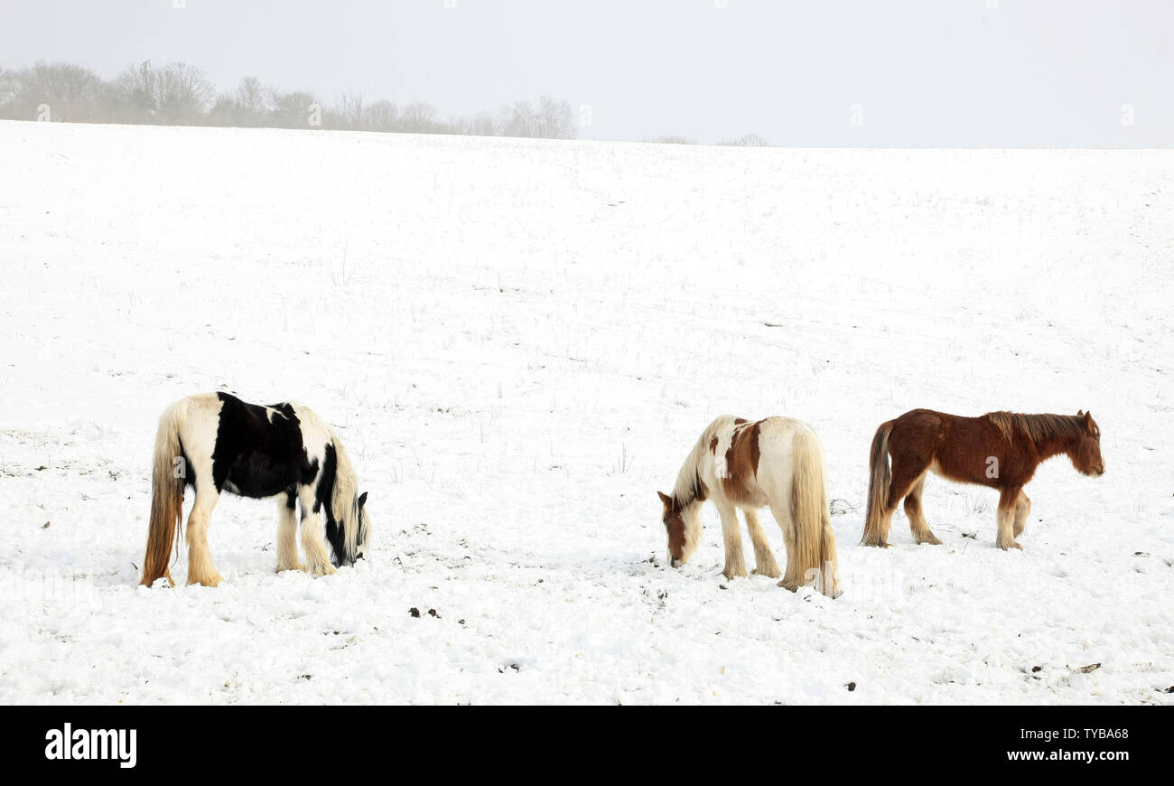 Three horses look for food in a snow covered field in South-East England as temperatures fall below zero in the United Kingdom and across Europe on February 06 2012.         UPI/Hugo Philpott - Stock Image