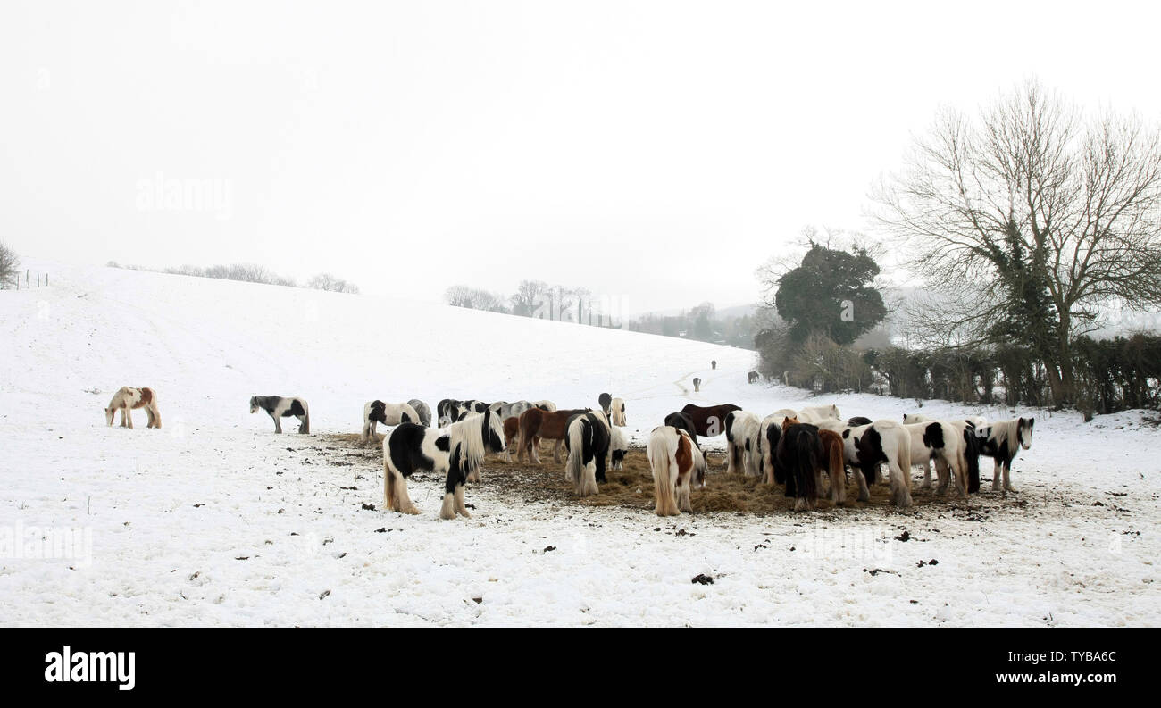 Horses look for food in a snow covered field in South-East England as temperatures fall below zero in the United Kingdom and across Europe on February 06 2012.         UPI/Hugo Philpott - Stock Image