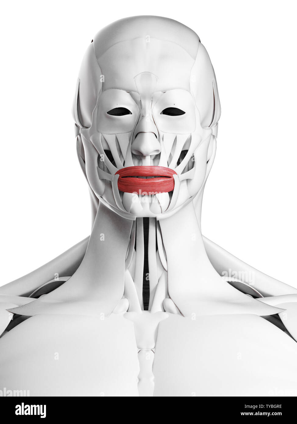 3d rendered medically accurate illustration of the orbicularis oris Stock Photo