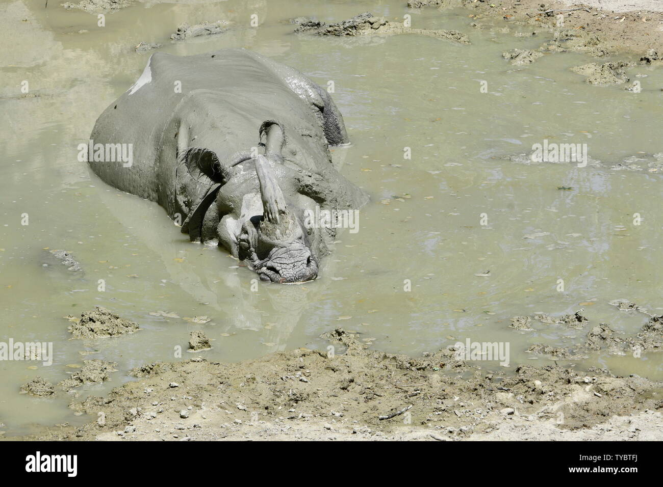 Vienna, Austria. 26th June, 2019. Heatwave in Vienna. Today, it is expected to reach 37 degrees Celsius. The Nepalese rhinoceros in the Tiergarten Schönbrunn manages with a mud bath. Credit: Franz Perc / Alamy Live News Stock Photo