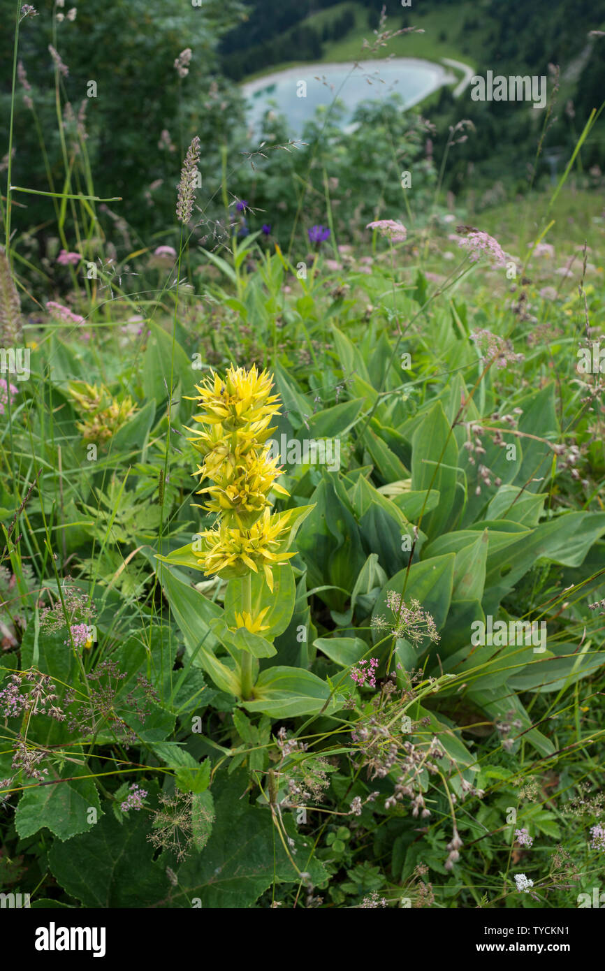 Yellow gentian, brauneck, bavarian alps, upper bavaria, bavaria, germany, (Gentiana lutea) - Stock Image
