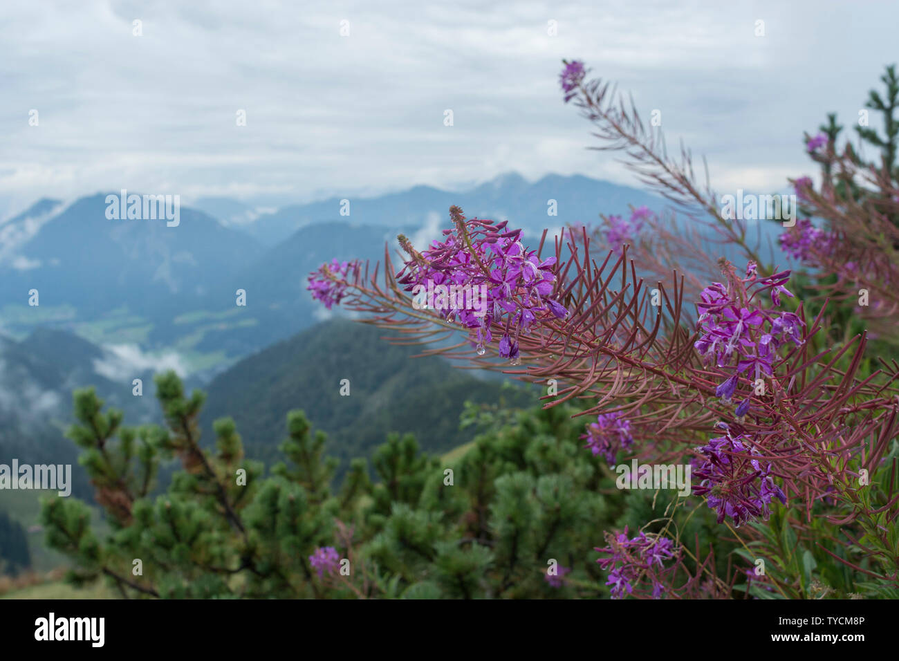 Hochfelln mountain, Hochfelln, Chiemgau, Upper Bavaria, Bavaria, Bavarian Alps, Germany - Stock Image
