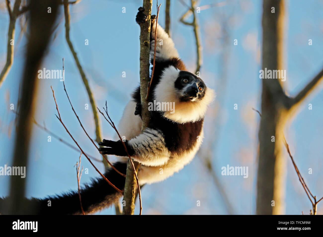 black-and-white ruffed lemur, (Varecia variegata), captive Stock Photo
