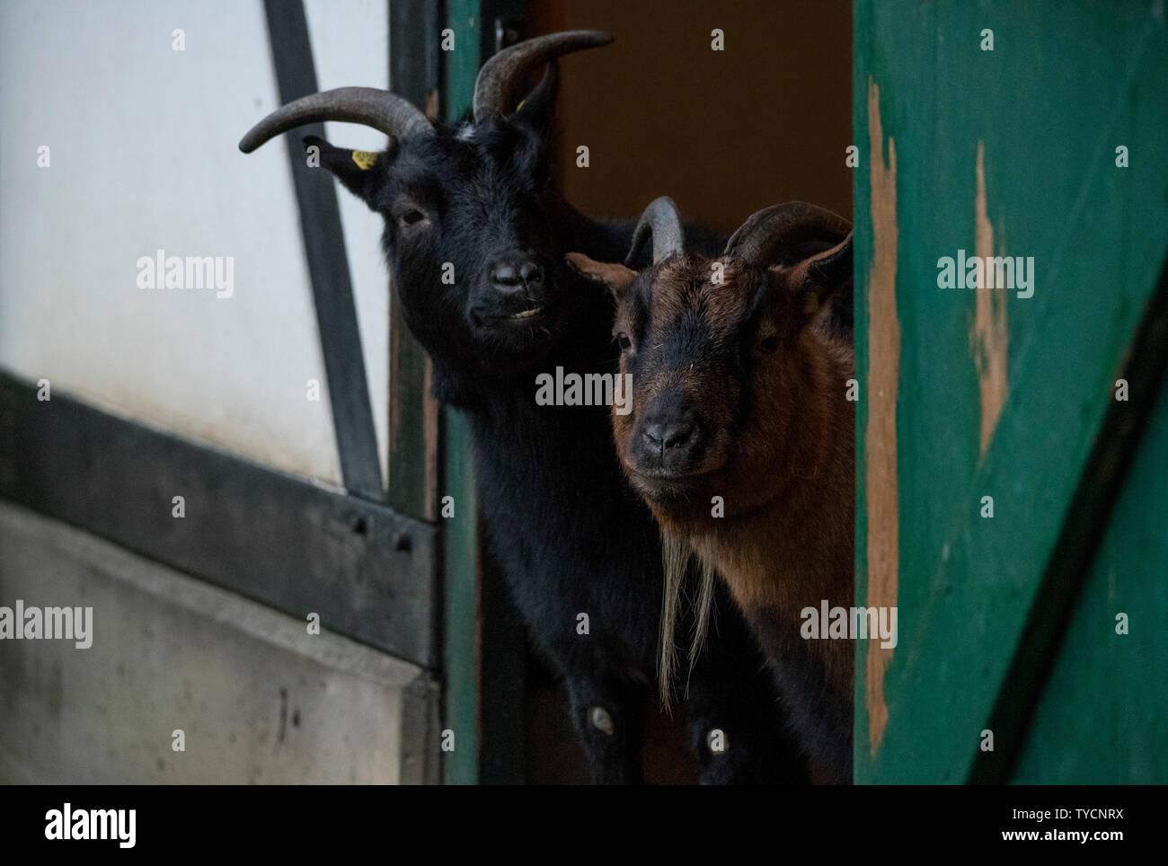 pygmy goat, Velbert, Germany, Europe - Stock Image