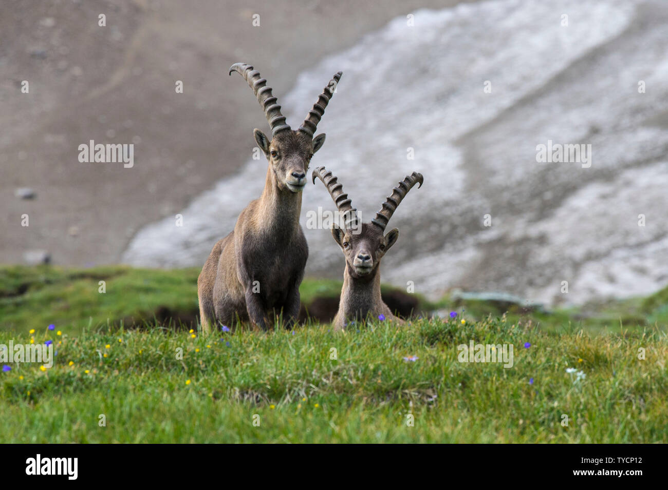 Alpine Ibex, Capra ibex, Hohe Tauern national park, Carinthia, Austria - Stock Image