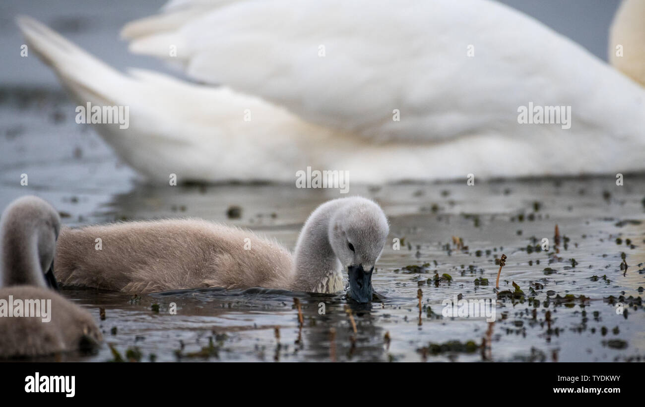 Isolated beautiful family of mute swans, parents and youngsters in the wild- Danube Delta Romania Stock Photo