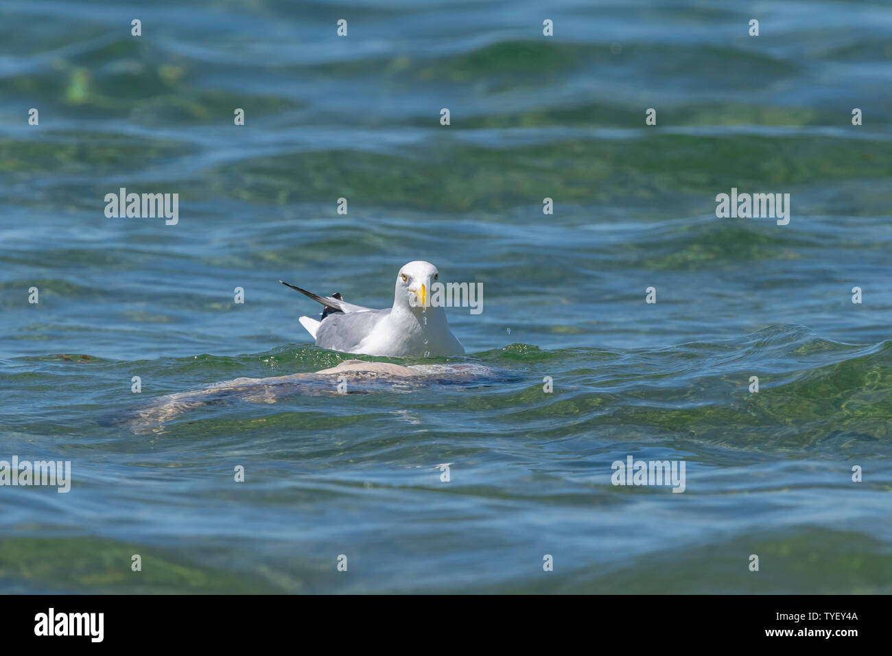 Herring gull (Larus argentatus) feeding on a dead fish (believed to be a common carp (Cyprinus carpio)) in Lake Michigan, USA. Stock Photo